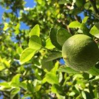 ライムの育て方|収穫時期や剪定方法は?鉢植え栽培もできる?の画像
