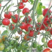 【デルモンテ×カインズ】ミニトマトの簡単栽培セットが限定発売されます!の画像