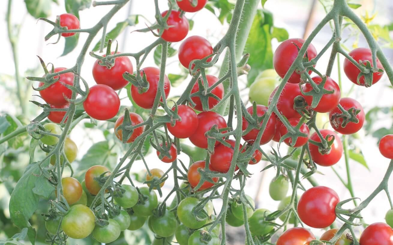 ミニ トマト プランター 育て 方