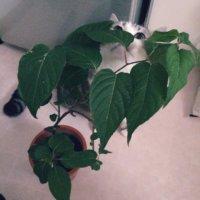 マタタビの育て方|植え付けや挿し木の方法は?花は咲くの?の画像