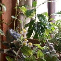 トネリコの木の育て方|剪定の時期や方法は?花を咲かせるコツはなに?の画像