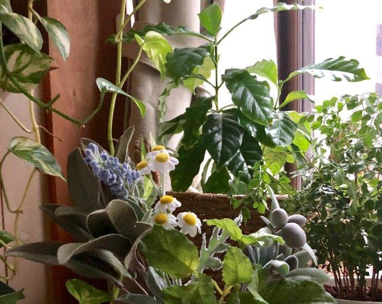 トネリコの育て方|鉢植えや室内でも栽培できる?挿し木はかんたん?の画像