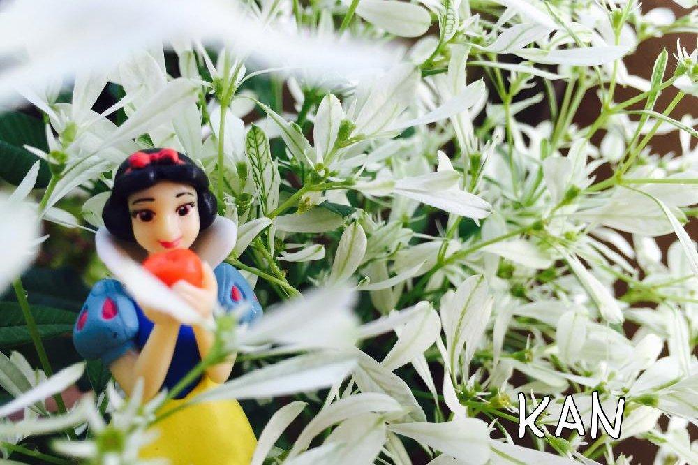 ユーフォルビア白雪姫 Photo by KANさん