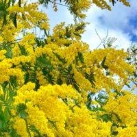 ミモザ(ギンヨウアカシア)の育て方|庭木にできる?剪定や植え替えの方法は?の画像