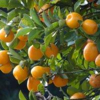 金柑(キンカン)の育て方|肥料の与え方は?鉢植えでも栽培できる?の画像