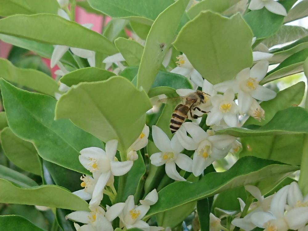 金柑の花、photo by みなつ