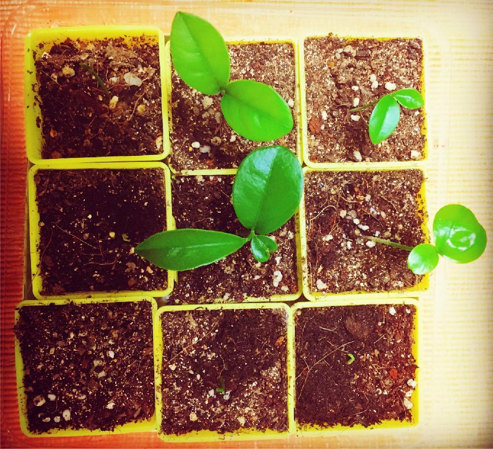 金柑の苗、photo by にーみ