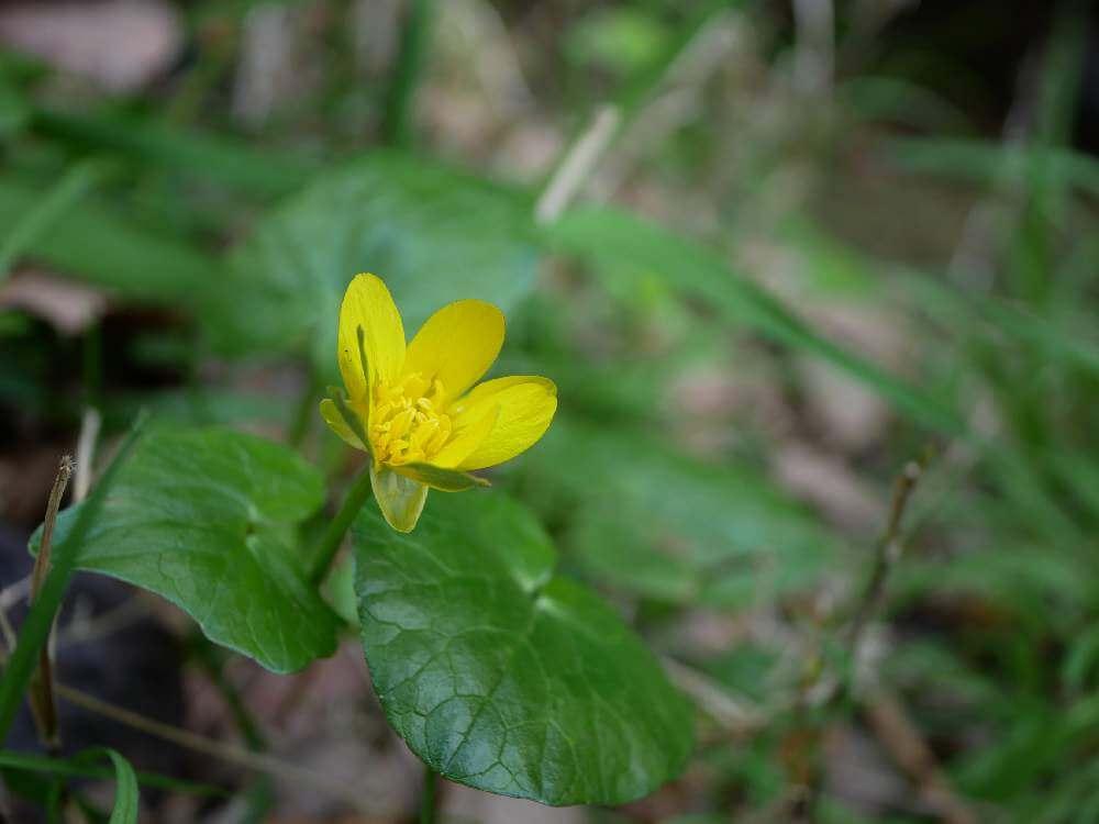 リュウキンカ(立金花)の育て方 適した環境や水やりの頻度は?の画像