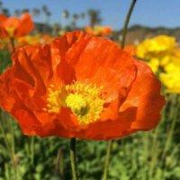 ヒナゲシ(雛芥子)の育て方|種まきや苗の植え付け時期は?の画像