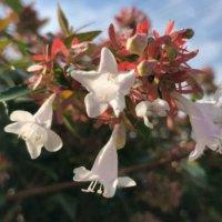アベリア・グランディフローラの育て方|植え付けや植え替えの時期は?の画像