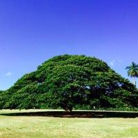 モンキーポッドの育て方|種まきや植え付けの時期は?庭木にもできる?の画像