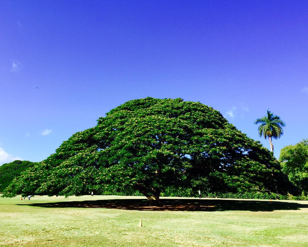 モンキーポッドの育て方 種まきや植え付けの時期は?庭木にもできる?の画像
