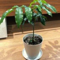 オーストラリアンビーンズ(ジャックと豆の木)の育て方|種まき時期は?の画像