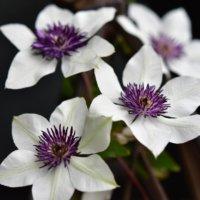 クレマチス・フロリダの育て方|きれいに花を咲かせるには剪定がポイント?の画像