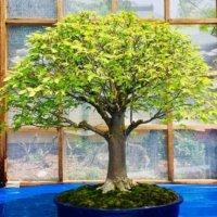 ケヤキ(欅)の育て方|鉢植えや地植えの仕方は?盆栽として栽培するコツは?の画像