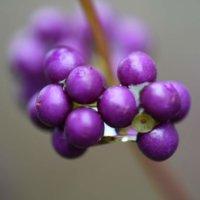 コムラサキの育て方|苗の植え付けや剪定方法は?花や実がなる時期は?の画像