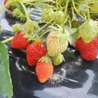 イチゴの育て方の画像