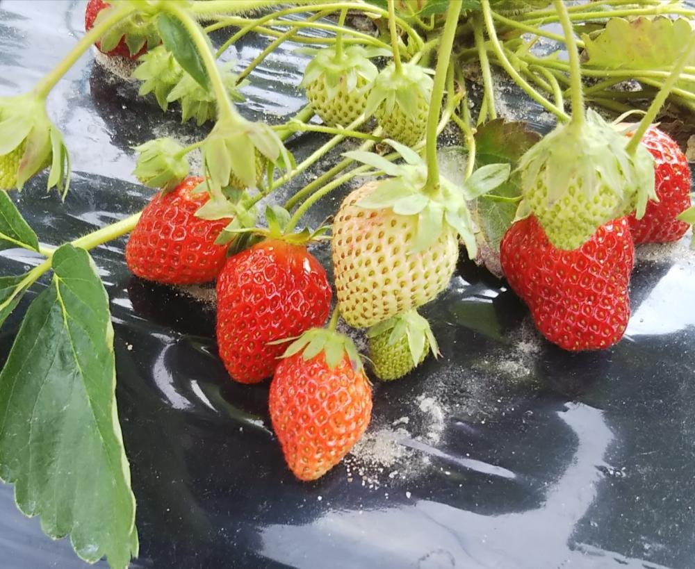 いちご(苺)の育て方|プランターでの栽培方法は?苗の植え方や時期は?の画像