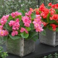 【タキイ種苗オリジナル品種】ベゴニアF1フィオナ系とはどんな花?の画像