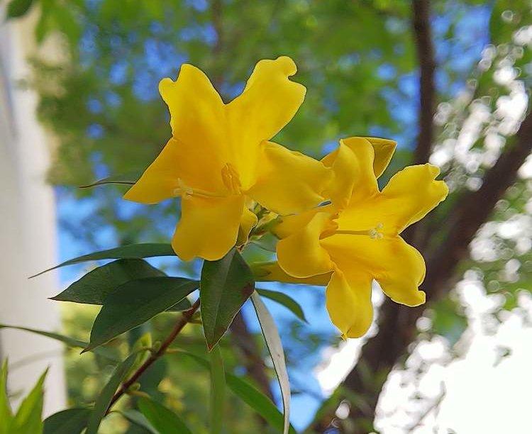 カロライナジャスミンの育て方|苗の植え付け時期や剪定、挿し木の手順は?の画像