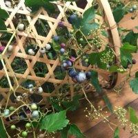 ノブドウ(野葡萄)の育て方|植え付け時期や植え方は?の画像