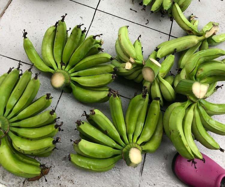 バナナの木Photo by 康吉さん