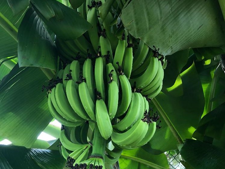バナナの木の育て方の画像