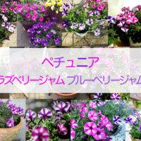 \カインズ独占/ペチュニア「ラズベリージャム」「ブルーベリージャム」開花の季節になりました♪の画像