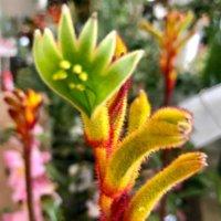 カンガルーポーの育て方|植え付けや水やりの仕方は?の画像