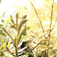 カンガルーポーの花言葉|花の特徴や意味、種類は?の画像
