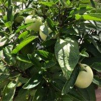 ペピーノの育て方|収穫時期や食べ方、栽培のコツは?の画像