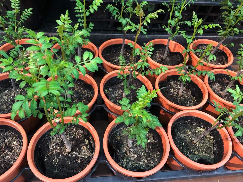山椒 の 木 の 育て 方 【種類別】山椒の育て方|種/苗/鉢植え/枯れる/剪定/挿し木