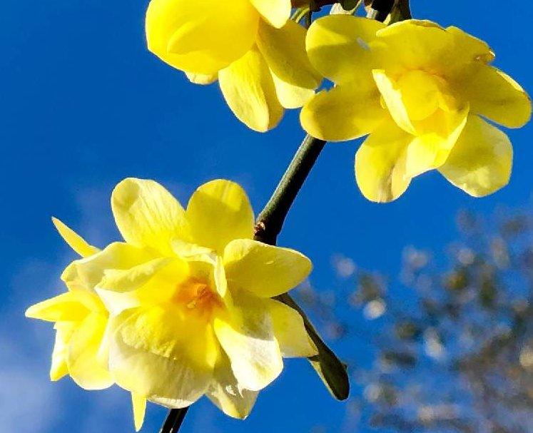 黄梅の育て方|挿し木や剪定の時期と方法は?の画像