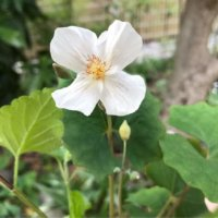 シラユキゲシ(白雪芥子)の育て方|水やりの頻度や植え付け方は?の画像