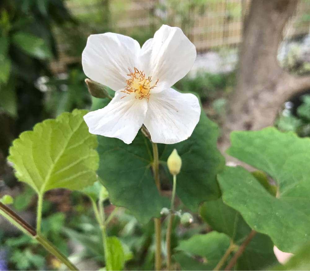 シラユキゲシ(白雪芥子)の育て方 水やりの頻度や植え付け方は?の画像