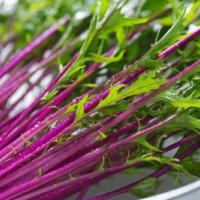 【紅色が美しいミズナ】紅法師(ベニホウシ)ってどんな野菜なの?簡単な栽培方法とは?の画像