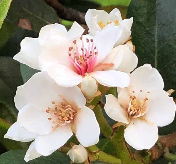 シャリンバイの育て方|種まきや挿し木、剪定の方法は?の画像