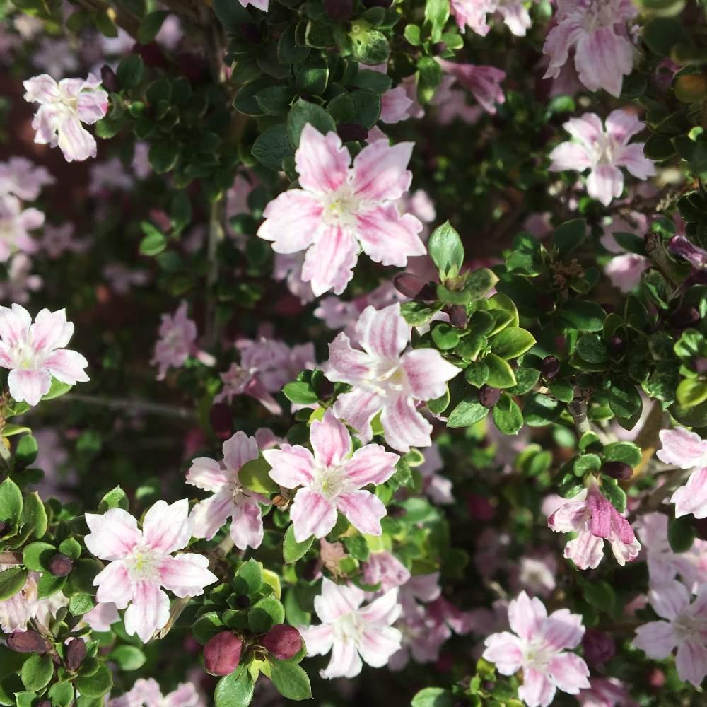 ハクチョウゲ(白丁花)の育て方 挿し木の方法は?剪定のコツは?の画像