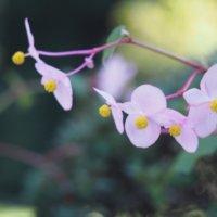秋海棠(シュウカイドウ)の育て方|水やり頻度や植え替えの時期は?の画像