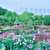 【京成バラ園 ローズフェスティバル2019 】フォトジェニックがたくさんの恋愛スポットへ行こう!の画像