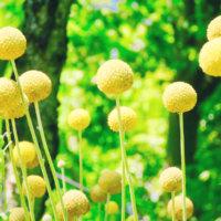 クラスペディアの育て方|種まきの時期や水やり頻度は?の画像