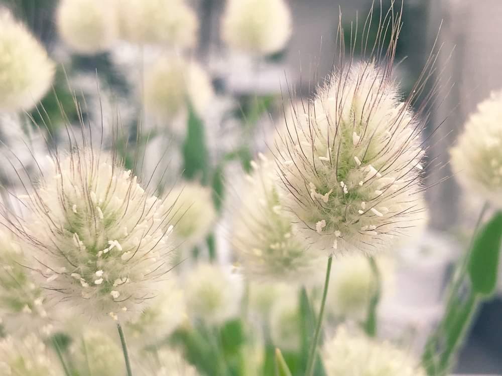 ラグラスの育て方|種まきの時期や水やりの頻度は?の画像