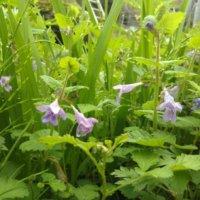 カキドオシの育て方|植え付けや植え替えの時期は?の画像
