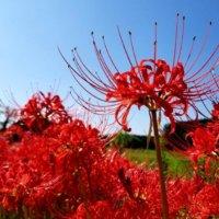 彼岸花(ヒガンバナ)の花言葉|不吉な意味はある?どんな別名がある?の画像