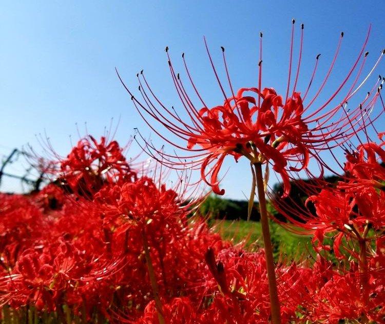 彼岸花(ヒガンバナ)の花言葉|🍀GreenSnap(グリーンスナップ)