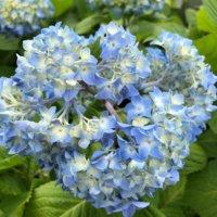 あじさい(紫陽花)の花言葉の画像