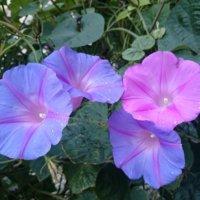 朝顔(アサガオ)の花言葉の画像