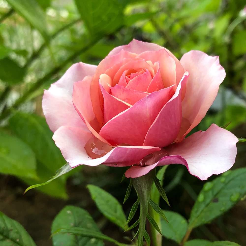 言葉 花 の ピンク 薔薇