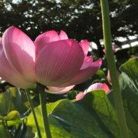 今週の人気『みどりのまとめ』5選!夏の定番 紫蘇ジュース / ハスの花💓🍑 などの画像