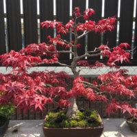 お家でも秋を感じよう!もみじ盆栽の紅葉の画像